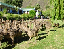 We are also a working Ostrich Farm
