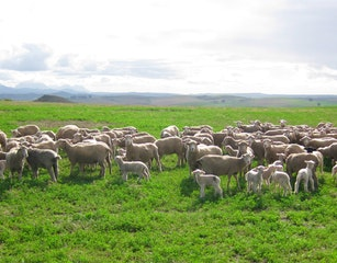 Flock of sheep on the farm