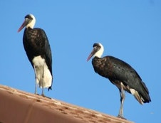 Wooly necked storks on roof