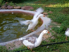 Geese are some of the farm animals