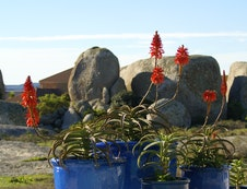 Aloes in Winter