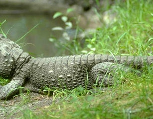 Zulu Croc website (1)