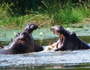 Hippos (Seen at the Hippo hide)