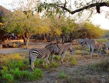Zebra`s infront of Lodge