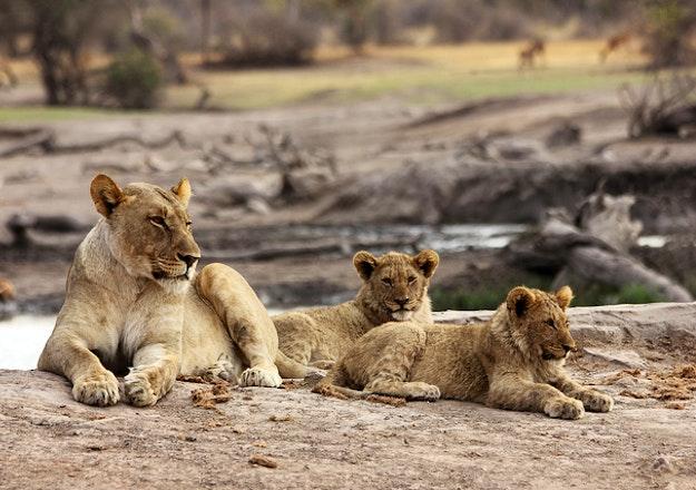 Lioness & cubs