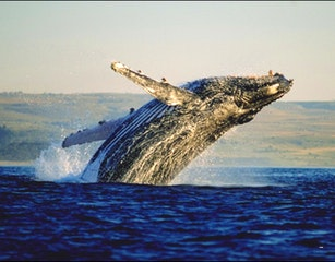 GREAT WHALE WATCHING