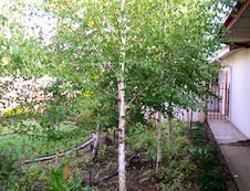A real Birch Bush