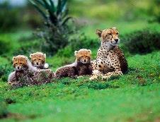 Cheetah & Cubs