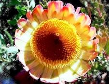 Protea sulphurea