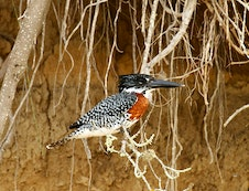 GIANT KINGFISHER AT RIVER