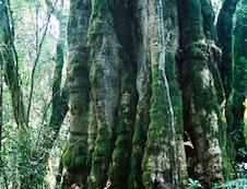 Kurisa Moya's champion tree