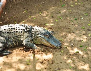 Zulu Croc image via website