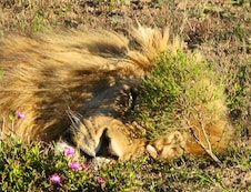 ....LION SLEEPING IN PARK