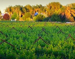 African Vineyard in the Vineyards