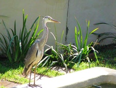 Grey Heron at our sushi bar