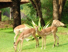 Impala roam the resort