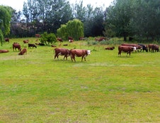 Cattle on the lawn