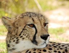 Cheetah Awareness