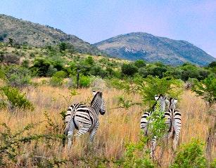 Zebras in Pilanesberg